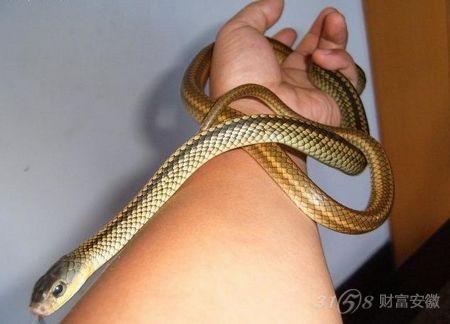 市野生动物保护协会的工作人员将千余条幼蛇带到紫蓬