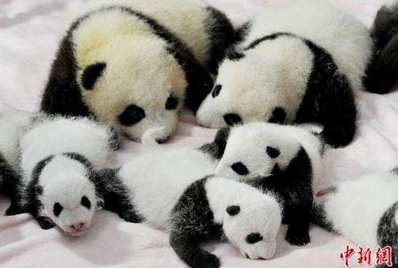 可爱的14只熊猫宝宝萌翻了前来参观的中外游客.