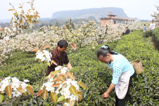 锦屏镇梨花节_锦屏镇的梨花边悄悄的开了,有着六年历史的锦屏梨花节又将拉开序幕了.