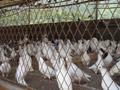 2017年农村养殖业前景?养10对鸽子一年的利润?