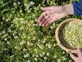 夏天喝菊花茶热的还是冷的?夏天喝菊花茶可以减肥吗