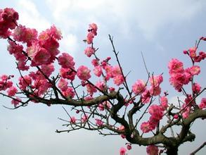 有梅花节的中国人_2016贵州荔波梅花节