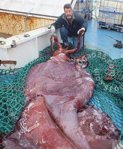 深海巨怪大王酸浆鱿惊现南极洲