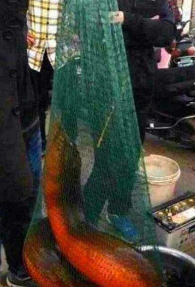 世界最大的鳝鱼_世界最大黄鳝快成精了