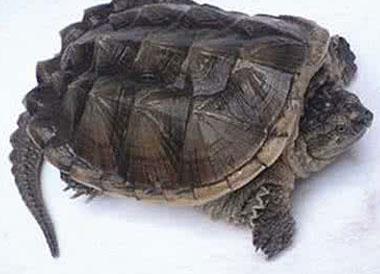 鳄鱼龟能吃吗?鳄鱼龟怎么吃?