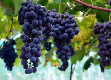夏黑葡萄为什么掉色?夏黑葡萄怎么会染色?