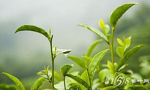 龙井茶树叶子图片