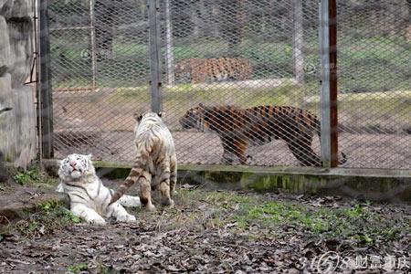 重庆动物园的两只白虎