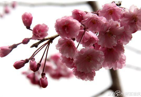 2015青岛中山公园樱花节交通指南: 26路; 31路环线; 202路环线; 206路环线; 223路; 228路; 231路环线; 311专; 312路; 316路; 317路; 321路; 370路; 604路环线; 605路; 701路机场巴士。 2015青岛中山公园樱花节简介: 青岛是国内樱花种植最密集的一个城市,世界范围内樱花种植量仅次于日本。中山公园是市民赏花踏青的好去处。园内单樱双樱共2000多株以单樱为主。品种都是属于日本樱花,其中染井吉野(单樱)居多中山公园面积1100亩,樱花主要集中