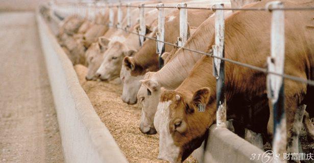 而澳洲牛肉的特点是什么呢?