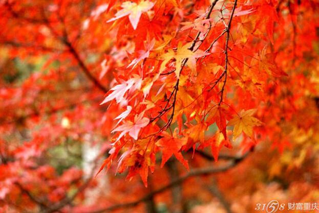 香山红叶在  北京乃至全国都是非常有名的,每年秋天观赏红叶的游客都