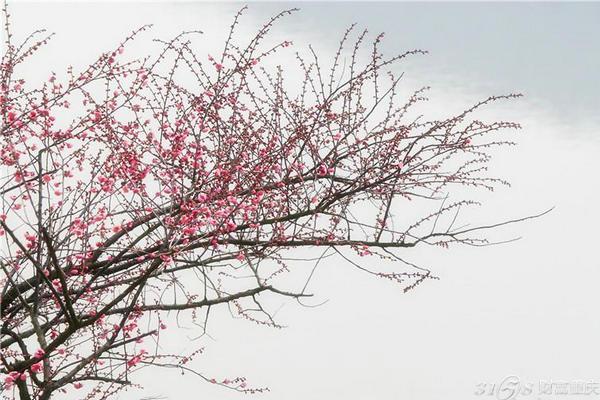 2016杭州超山梅花节地点:杭州超山风景区