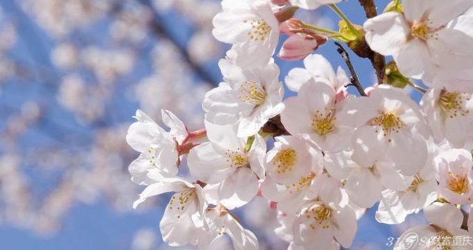 昆明圆通山附近的街道上樱花最为集中,圆通山公园内的樱花品种最多、最美。目前樱花、海棠同时进入了初开区,届时会出现两种花同时盛开迎春的美丽景观,对赏花市民来说,确实是一件好事情。垂丝海棠、樱花同时盛开的景象,确实出现得不好,但今年已经出现了。 圆通山公园内共种植3000多株樱花和海棠花,其中垂丝海棠共有1000多株,樱花以云南樱花为主,圆通樱潮已远近闻名,成为昆明的胜景之一。而去年年底和今年年初昆明遭遇两场大雪,立春后气温迅速上升,致使今年樱花和海棠都提前绽放并同时迎来盛花期,更是美不胜收。 以上就是小