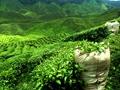 开茶叶加盟店怎么选择品牌?茶叶加盟店品牌选择注意事项?