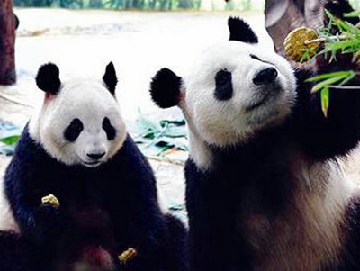 认养家庭为熊猫做特制月饼
