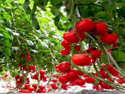现在加盟中农共信有机瓜菜工厂好不好