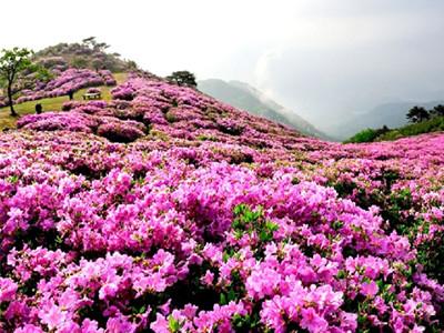 安图攻略之百里杜鹃v攻略贵州美景图片