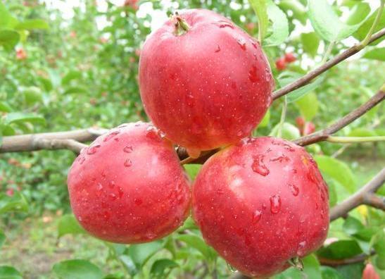 长林岛金红苹果 更香脆可口