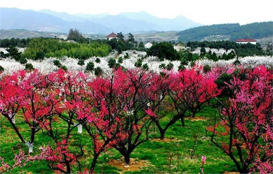 有梅花节的中国人_在这个时候都会举办梅花节吸引人们前来赏梅.