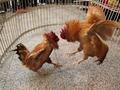 河南习俗文化开封斗鸡 开封斗鸡是怎么形成的?