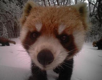 乐山大风顶现野生大熊猫和小熊猫 看镜头神态超萌