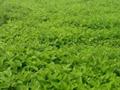 蛋白桑:广西桑产业开发利用的三大途径