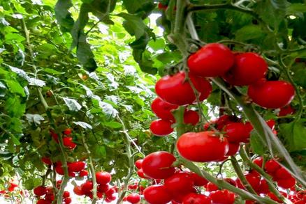 加盟中农共信有机瓜菜工厂怎么样?中农共信有机蔬菜栽培成本要多少?