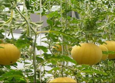 加盟中农共信有机瓜菜工厂教技术吗?