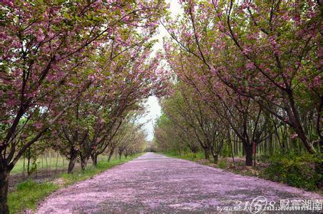 湖南省植物园樱花盛放邀您踏春赏花