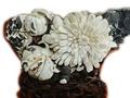 菊花石属于宝石还是玉石