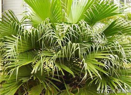 双子座客厅风水布局4,客厅植物