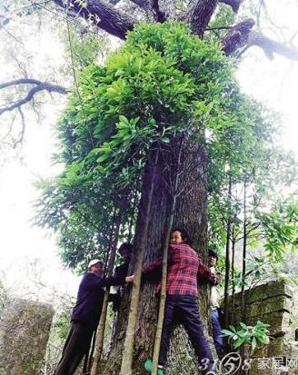 三峡现800岁金丝楠木 品种稀有价值惊人
