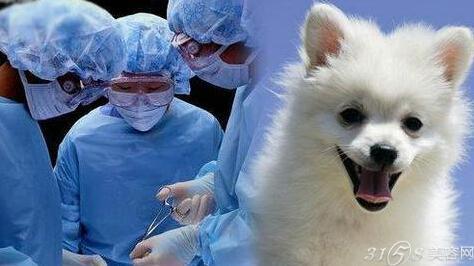 韩国流行宠物整容 给狗割双眼皮开眼角