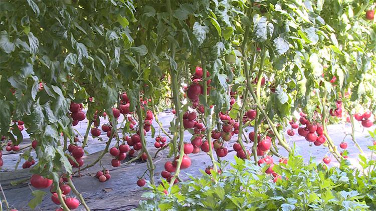 无土栽培西红柿