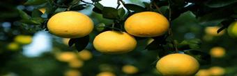 常山触网——胡柚致富发展的保障