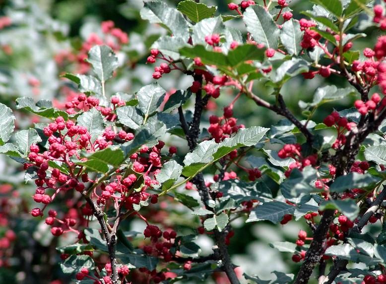 花椒的特点:花椒属芸香料灌木或小乔木植物