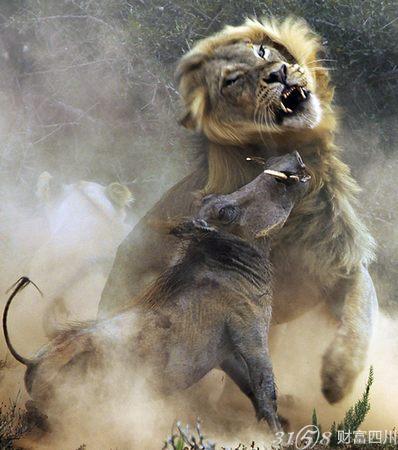 """动物世界:猛狮袭野猪上演惨烈""""狮猪大战"""""""