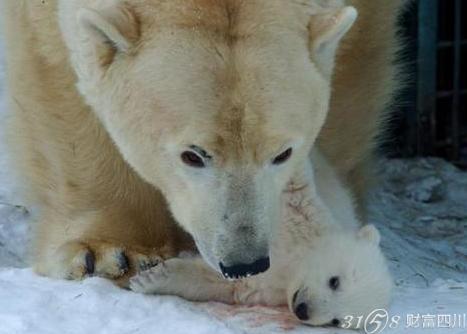 北极熊是国家几级保护动物?