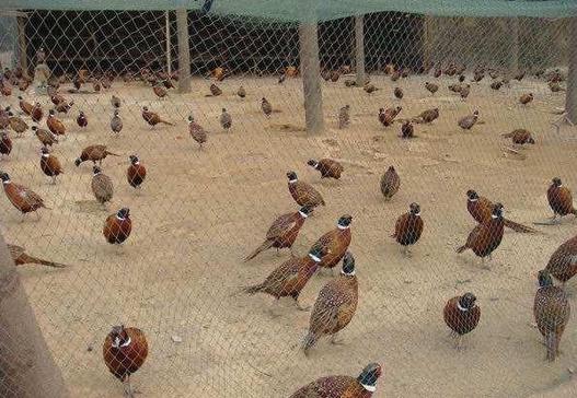 2017农村养殖野鸡怎么样,农村养殖野鸡赚钱么
