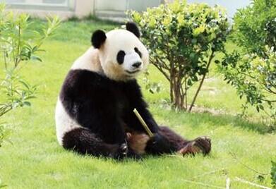 荷兰网友:中国借给荷兰两只大熊猫
