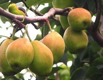 在这个百果园水果连锁店里,陈列着近百种水果,除了苹果、香高清图片