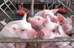 支柱产业沙窝白猪