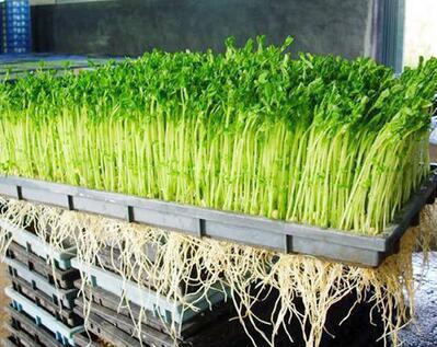 菜立方芽苗菜在小县城好卖吗