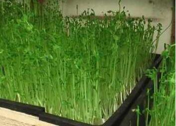 菜立方芽苗菜种植赚钱吗