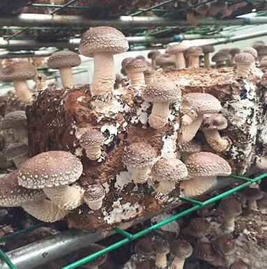 在自家种植平菇怎么种