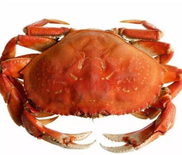 比大闸蟹大很多,但是抓母蟹会被罚——珍宝蟹