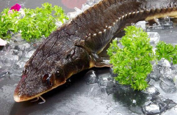 最原始的美味,来自海洋的味道——鲟鱼