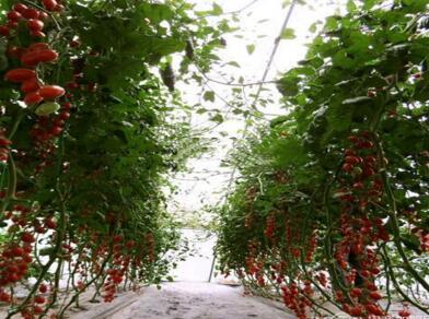 大棚蔬菜怎么种植