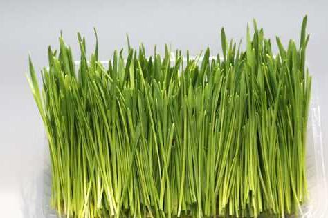 菜立方芽苗菜的利潤是怎樣計算的
