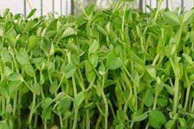 爱心农场芽苗菜加盟条件有哪些呢